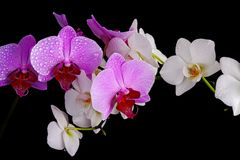 Wet orchids closeup Royalty Free Stock Images