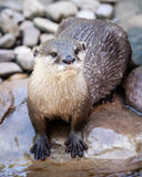 Wet Oriental Small-clawed Otter Standing in Riverbed on Rock Royalty Free Stock Photo