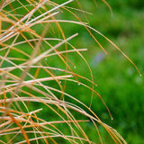 Wet ornamental grass Royalty Free Stock Photos