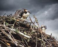 Wet Osprey chicks in Nest Wet rain in back ground looking unhappy royalty free stock image