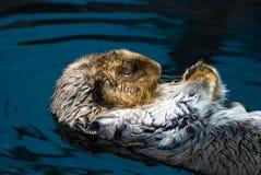 Wet otter Stock Photo