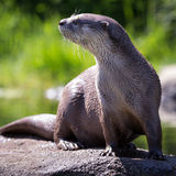 Wet Otter Royalty Free Stock Images