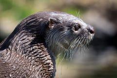 Wet Otter Royalty Free Stock Photo