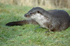 Wet otter Stock Photography