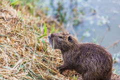 Wet otter sits on the lake Stock Photos