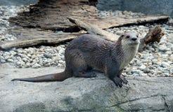 Wet otter Stock Image