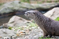 Wet otter sitting on the river bank royalty free stock photography