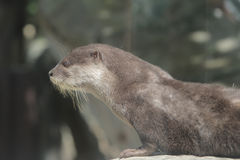 Wet otter is standing on a stone Stock Image