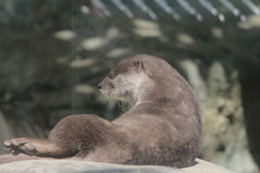 Wet otter is standing on a stone Royalty Free Stock Images