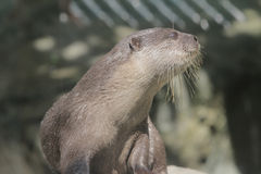 Wet otter is standing on a stone Royalty Free Stock Photos