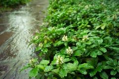 Wet pachysandra terminalis green carpet with inflorescence Royalty Free Stock Photos