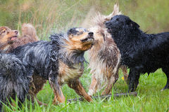 Wet pack of Australian Shepherds Stock Photography