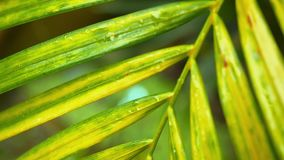 Close up of wet palm leaf nature background. Slow motion. 1920x1080. Wet palm leaf nature background stock footage
