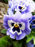 Wet pansy royalty free stock photography