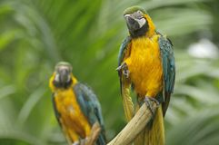 Wet Parrot. A rain-drenched macaw making a funny pose trying to dry its feathers while perched on a tree branch Stock Image