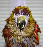 Wet Parrot Royalty Free Stock Images