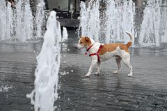 Wet Parson Jack Russell Terrier in a fountain Royalty Free Stock Image