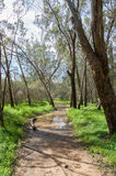 Wet Path. Peaceful path though tall trees with wet sandy ground and vivid green grass with yellow wildflowers under a blue sky with clouds in the Swan Valley of Royalty Free Stock Image