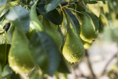 Wet Pear Stock Photography