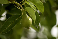 Wet Pear Royalty Free Stock Photography