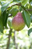 Wet pear Royalty Free Stock Images