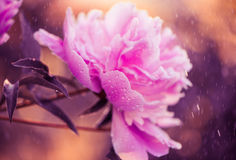 Wet peonies Stock Photo
