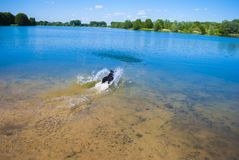 Wet Pet. Dog in lake - jumping - running for ball Stock Photo