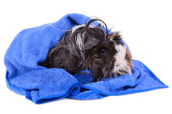 Wet pet Royalty Free Stock Photography