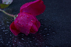 Wet petals and a red rose bud with water drops. On black background macro Stock Photography