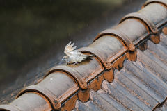 Wet Pigeon on the old roof on a rainy day. Royalty Free Stock Image
