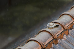 Wet Pigeon on the old roof on a rainy day. Royalty Free Stock Photography
