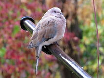 Wet pigeon. Sitting in the rain Royalty Free Stock Photography