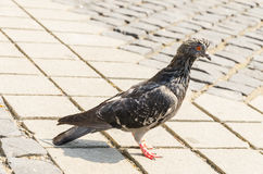 Wet pigeon Stock Images