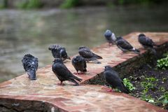 Wet pigeons are sitting on a bed royalty free stock photos