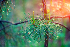 Wet pine branch Stock Photography