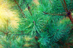 Wet pine branch Royalty Free Stock Image