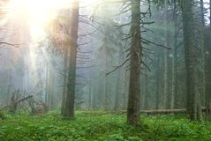Wet pine forest Royalty Free Stock Photos