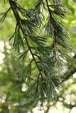 Pine. Wet Pine tree Royalty Free Stock Image