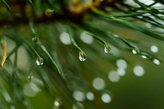 Wet pine tree Royalty Free Stock Photography