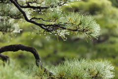 Wet pine tree. Detail of wet asian pine tree after rain Stock Image