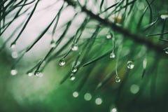 Wet pine tree Royalty Free Stock Photos