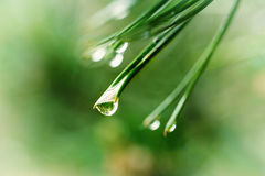 Wet pine tree Stock Image