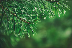 Wet pine tree Royalty Free Stock Images