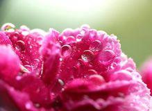 Wet pink carnation Royalty Free Stock Photo