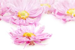 Wet pink daisies in detail Royalty Free Stock Photo
