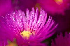Wet pink flower Royalty Free Stock Photos