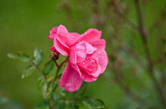 Wet Pink flower Stock Images