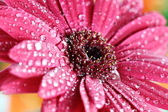 Wet Pink Gerber Daisy Royalty Free Stock Photo