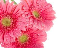 Wet pink gerbera flowers, macro shot Stock Images