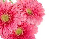Wet pink gerbera flowers, macro shot Stock Images